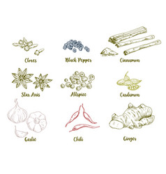 Set of colored hand drawn culinary spices vector