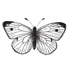 cabbage butterfly vintage vector image