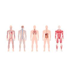 set human body internal organs system circulatory vector image