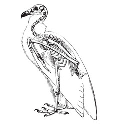 Vulture skeleton vintage vector