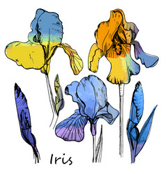 Watercolor set of color irises vector