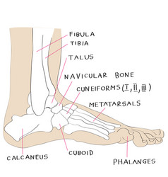 lateral view foot bones color vector image vector image