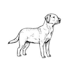 Hand drawn dog labrador sketch vector