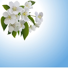 White apple flowers with leaves and bud vector image
