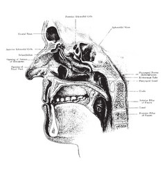 Nasal cavity with openings of accessory sinuses vector
