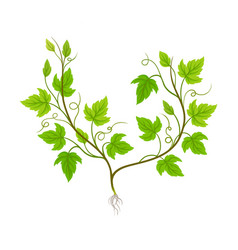 Seedling grape plant with thin roots isolated vector