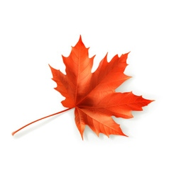 Red maple leaf object vector image