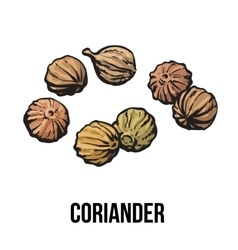 Coriander seeds sketch style vector image vector image