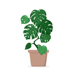 Tropical plant monstera in vector