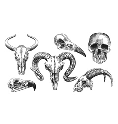 animal skull vector image