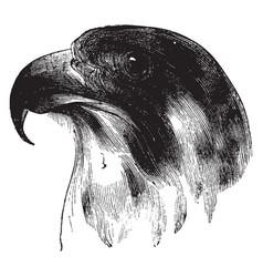 Head of a peregrine falcon vintage vector