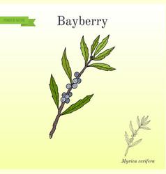 Bayberry myrica cerifera medicinal plant vector
