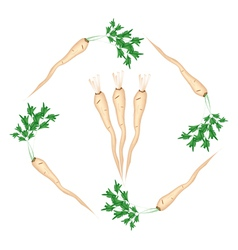 Fresh Green Parsley Roots on White Background vector image