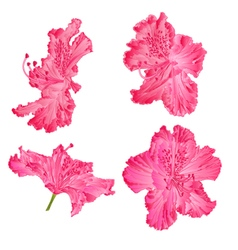 Blossoms pink rhododendron mountain shrub vector