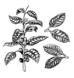 hand drawn set of coffee plant leaves and twig vector image