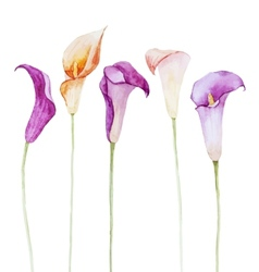 Nice watercolor calla flowers vector image vector image