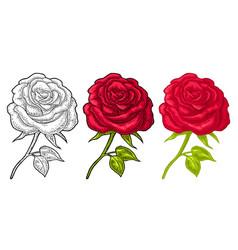 rose flower with leaf color engraving vintage vector image