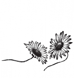 antique daisies engraving vector image vector image