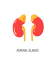 diagram of adrenal glands in flat style vector image
