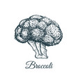 broccoli sketch drawing vector image