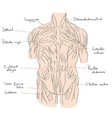 torso muscles front color vector image vector image