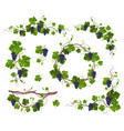 grapevine climbing plant with purple grapes set vector image