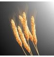 Wheat ears isolated EPS 10 vector image vector image