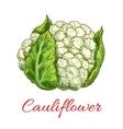Green cauliflower isolated vegetable vector image