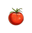 red tomato berry isolated vegetable sketch vector image