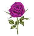 hand drawn deep purple flower isolated on white vector image vector image