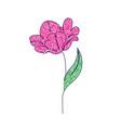 tulip flower on white vector image vector image