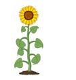 garden sunflower grow in soil vector image