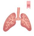 human lungs anatomy vector image