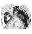 three toed woodpeckers vintage vector image vector image