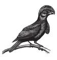 amazonian umbrella bird vintage vector image vector image
