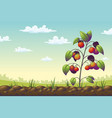 tomato plant on a field vector image