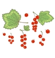 Red currants isolated vector image