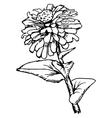 zinnia vector image vector image