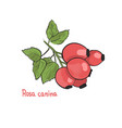 hand drawn of rosa canina hips picture of vector image vector image