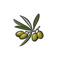 olive oil logo icon isolated vector image vector image