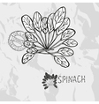 Hand drawn spinach vector image