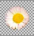 daisy flower isolated vector image