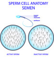 sperm cell anatomy semen vector image