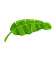 banana leaves isolated on white vector image vector image
