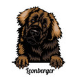 leonberger - dog breed color image a dogs head vector image vector image