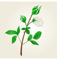 buds white rose stem with leaves vintage vector image vector image