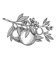 orange tree branch engraving vector image vector image
