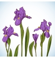 Irises vector image