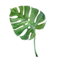 watercolor monstera leaf vector image vector image