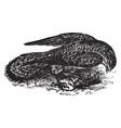 common kestral vintage vector image vector image